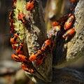 Milkweed Bugs Royalty Free Stock Photo