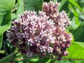 Toronto Lake Milkweed flower 2014