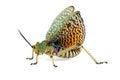 Milkweed locust on white Royalty Free Stock Photo
