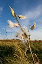 Milkweed plant and seeds Stock Images