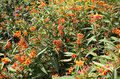 Milkweed Plants