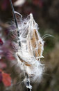 Milkweed releasing seed closeup of a pod its seeds into the wind Stock Image