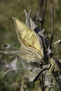 Milkweed seed pod dried out and cracked open Stock Photo