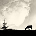 Milky clouds alone cow and pine silhouette on vintage film sty old style Stock Image