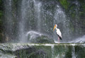 Milky stork in front of a waterfall
