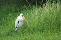 Milky stork the standing in the grass Stock Image