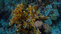 Millepora dichotoma Royalty Free Stock Photo