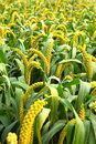 Millet Royalty Free Stock Photo