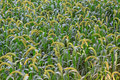 Millet plant Stock Photos