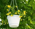 Million bells calibrachoa flower yellow flowers in the hanging white plastic pot Stock Photos
