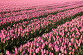 Millions of pink tulips Stock Photos
