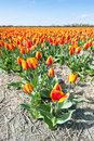 Millions of tulips Stock Images
