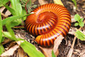 Millipede on a green grass Royalty Free Stock Photography