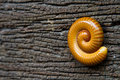 Millipedes are right on rotting wood. Royalty Free Stock Photo