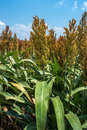 Milo sorghum ripening or crop Royalty Free Stock Photos