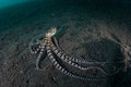 Mimic Octopus On Black Sand In...