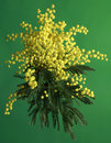 Mimosa acacia dealbata bouquet of silver wattle isolated on green background Royalty Free Stock Photography