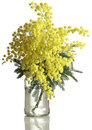 Mimosa acacia dealbata cutout bouquet of silver wattle isolated on white background Stock Photography