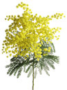 Mimosa acacia dealbata cutout branch of silver wattle isolated on white background Stock Photo