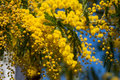 Mimosa acacia dealbata foliage and flowers against blue sky Royalty Free Stock Image