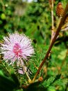 Mimosa bloom in the field Royalty Free Stock Photo