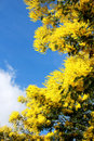 Mimosa blossom with a blue sky background Stock Images