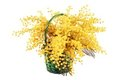 Mimosa bouquet isolated. Royalty Free Stock Images