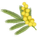 Mimosa flower sprig of isolated on white background Royalty Free Stock Photo