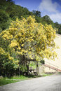 Mimosa flowering yellow plant in late winter in sardinia Royalty Free Stock Photo