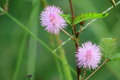 Mimosa pudica also called sensitive plant sleepy plant and the touch me not is a creeping annual or perennial herb often grown for Stock Photos