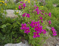 Mimulus Lewisii Royalty Free Stock Photo