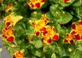 Mimulus tigrinus, Tiger Monkey Flower Royalty Free Stock Photo