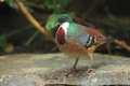 Mindanao bleeding-heart Royalty Free Stock Photo
