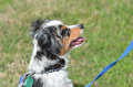 Mini aussie puppy a tri colored australian shepherd in profile against green grass with a blue leash Stock Photo