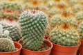 Mini cactus Royalty Free Stock Photos