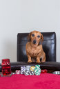Mini dachshund poses in front of poker chips and stares directly at camera Stock Photo
