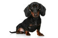 Mini dachshund puppy Stock Photo