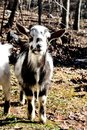 Mini goat as pets are so cute Royalty Free Stock Photo