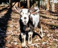 Mini goat looking right at you Royalty Free Stock Photo