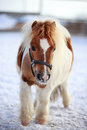Mini Horse Royalty Free Stock Photo