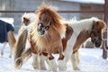 Mini Horses Royalty Free Stock Images