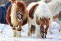Mini horses Royalty Free Stock Image