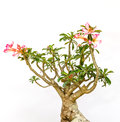 Mini mock azalea beautiful red flowers on white background Royalty Free Stock Photo