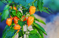 Mini orange bell peppers growing on plant miniature ripe and green or capsicums being organically grown in a home garden these are Stock Photo