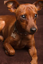 Mini Pinscher Royalty Free Stock Images