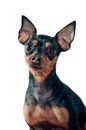 Mini Pinscher dog Royalty Free Stock Photo