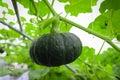 Mini pumpkin growing in field plant. Royalty Free Stock Photo