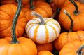 Mini pumpkin white pumpking distinct on many others Royalty Free Stock Photography