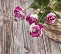 Mini roses Stock Photography