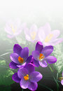 Mini springtime magenta crocuses Royalty Free Stock Image